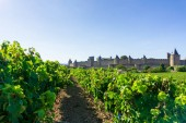 Row vine grape in champagne vineyards at Carcassonne background, France