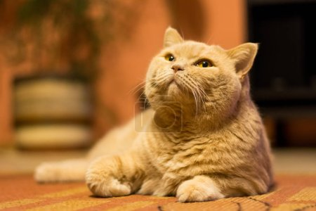British shorthair cat is lazy lying on the carpet. Domestic adorable cat relaxation