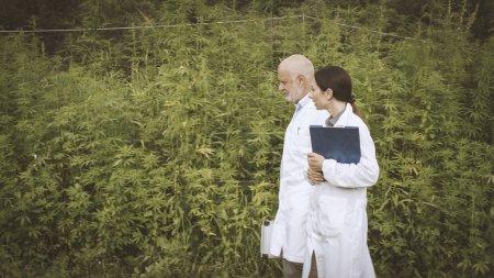 Photo pour Chercheurs professionnels marchant dans un champ de chanvre et vérifiant les plantes, le cannabis et la médecine alternative concept - image libre de droit