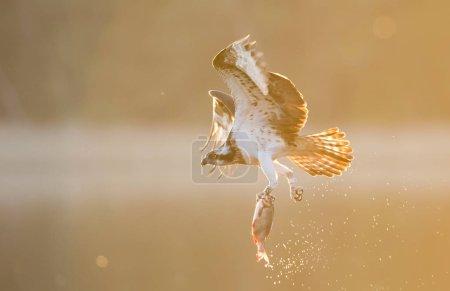 Beautiful osprey hunting over lake