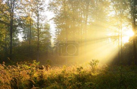 Beautiful morning sunbeams in misty forest