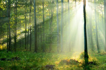 Photo for Beautiful morning sunrays in forest - Royalty Free Image
