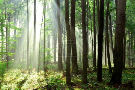Sunrays piękny poranek w lesie