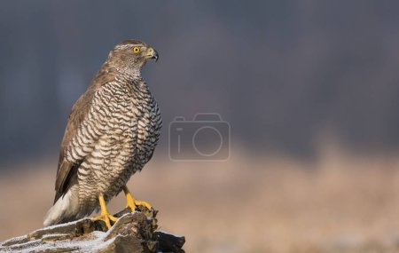 Close up view of young northern goshawk