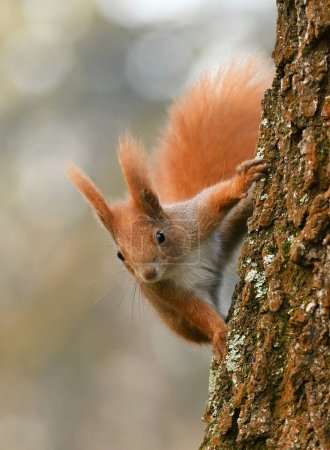 Close up view of adorable little Red Squirrel