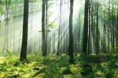 beautiful morning with sunbeams in the forest