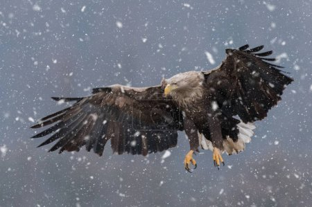 White tailed Eagle flying in natural habitat