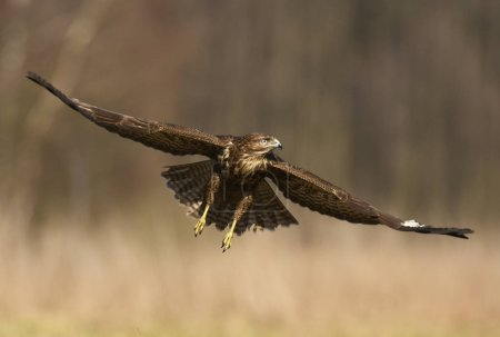 Photo for Common buzzard flying in natural habitat - Royalty Free Image