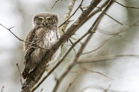 Close up view of Eurasian pygmy owl