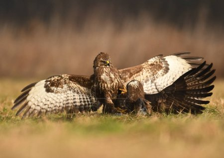 Fighting common buzzards in natural habitat