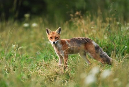 Photo pour Bouchent la vue du renard dans leur habitat naturel - image libre de droit