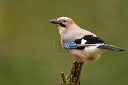 Photo for Jay bird in natural habitat, close up view - Royalty Free Image