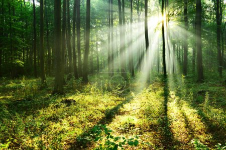 beautiful morning sunbeams in autumn forest