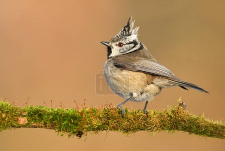 Photo for Crested Tit (Lophophanes cristatus) - Royalty Free Image