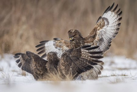 Photo for Common buzzards fighting in natural habitat - Royalty Free Image