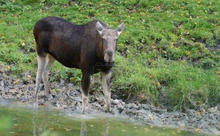 Big Moose in natural habitat in autumn