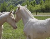 Twins cremello foals (or albino)