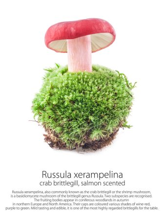 Russula xerampelina (salmon scented) on moss in a ...