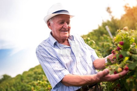 Senior man picking blackberries in orchard
