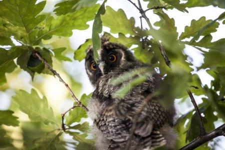 Photo pour Fond d'arbre d'oiseau de hibou de chéri - image libre de droit