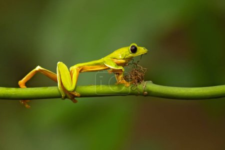 Gliding tree frog (Agalychnis spurrelli) is a spec...