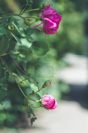 Photo for Blooming roses and buds on a bush in the garden - Royalty Free Image