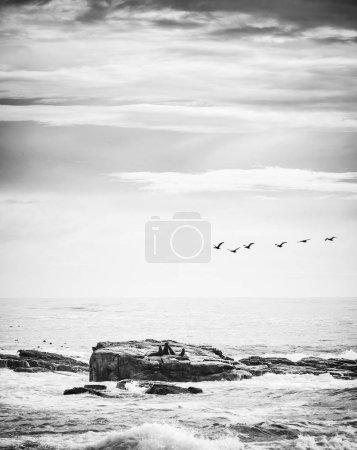 Photo pour Oiseaux de mer et otaries brunes sur une île au large du cap de Bonne-Espérance, péninsule du Cap, Afrique du Sud en noir et blanc - image libre de droit