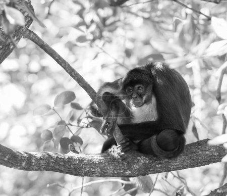 Photo pour Singe araignée du Yucatan assis sur une branche d'arbre dans la forêt en noir et blanc magnifique - image libre de droit