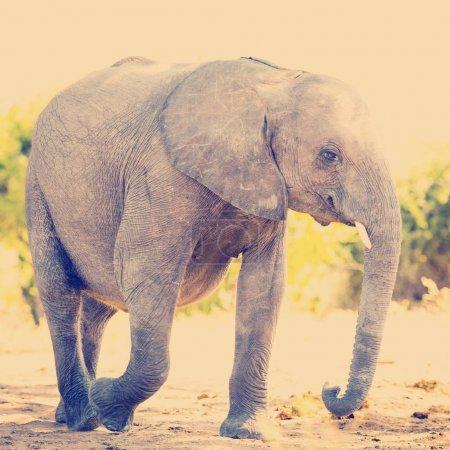 Photo pour Bébé veau éléphant sauvage en Afrique avec effet filtre style Instagram rétro - image libre de droit