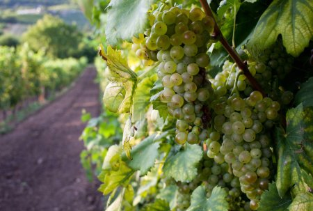 Ripe grapes on vine in autumn sunset...