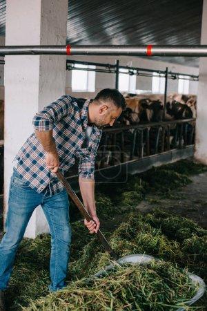 farmer in checkered shirt preparing grass for feeding cows in stall