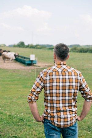 Rückansicht des Bauern, der mit den Händen auf der Hüfte steht und Vieh auf dem Feld betrachtet