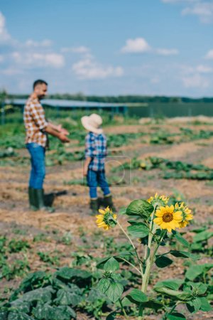 beautiful blooming sunflowers and father with son working on farm behind