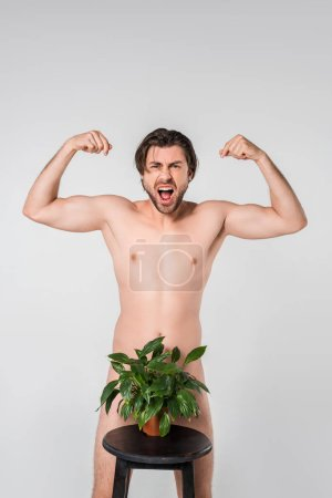 screaming naked man showing muscles while standing behind green plant in flowerpot on chair isolated on grey