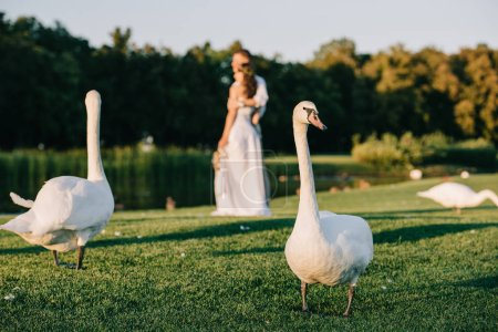 close-up view of beautiful swans on green grass and young wedding couple standing behind near lake