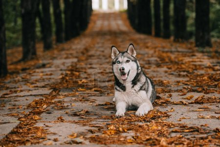 husky dog on foliage in autumn park