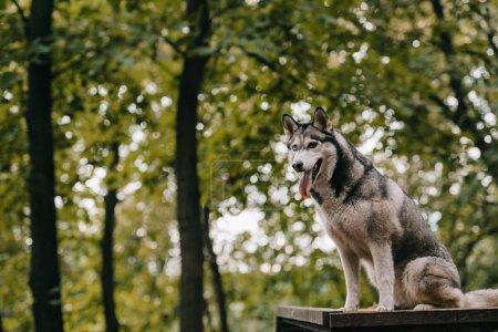 siberian husky dog on agility ground in park