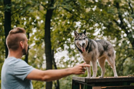 siberian husky on dog walk obstacle in agility trial, selective focus of pointing man