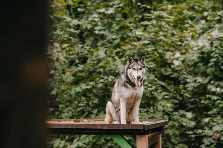 siberian husky dog sitting on obstacle on agility ground