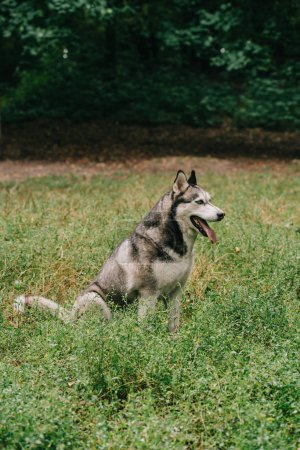 furry grey husky dog sitting in green grass