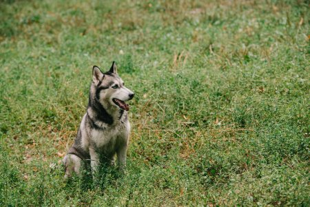 furry siberian husky dog sitting in green grass