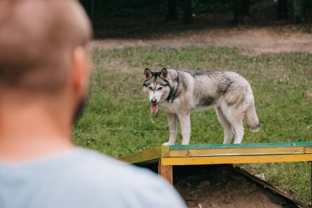 selective focus of man with siberian husky dog in obedience class
