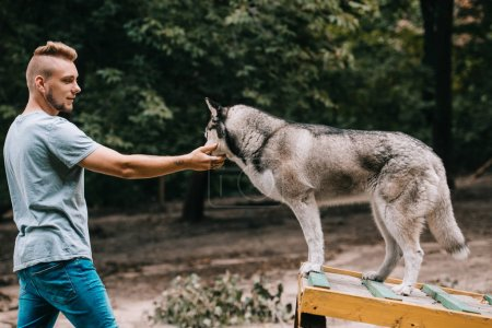 dog trainer working with siberian husky on dog walk obstacle