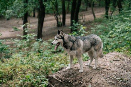 siberian husky dog walking in park