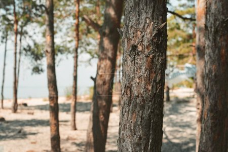close up view of pine trees in forest on summer day
