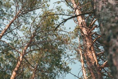 Photo pour Vue de dessous de pins dans la forêt le jour de l'été - image libre de droit