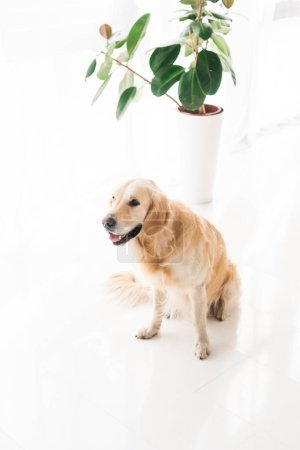 golden retriever sitting on floor near plant