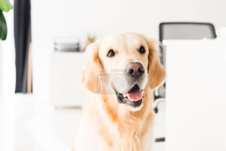funny golden retriever dog sitting on floor, selective focus