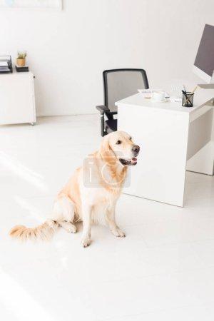 golden retriever dog sitting on floor near table in office