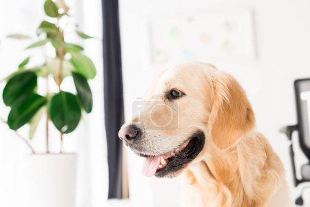 golden retriever dog near plant, selective focus
